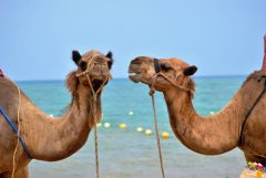 unsplash-camel