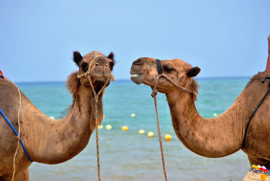 Unsplash Camel
