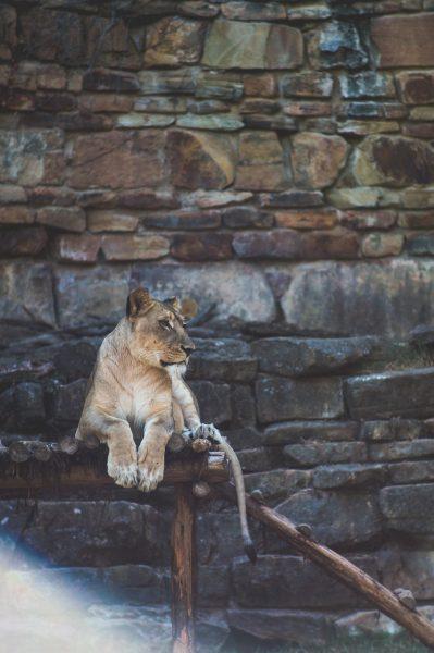unsplash-lion