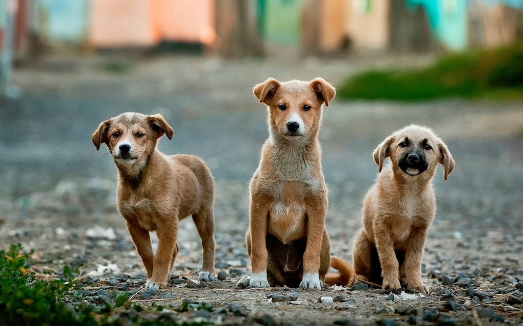 Unsplash Three Dogs