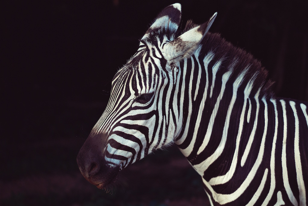unsplash-zebra